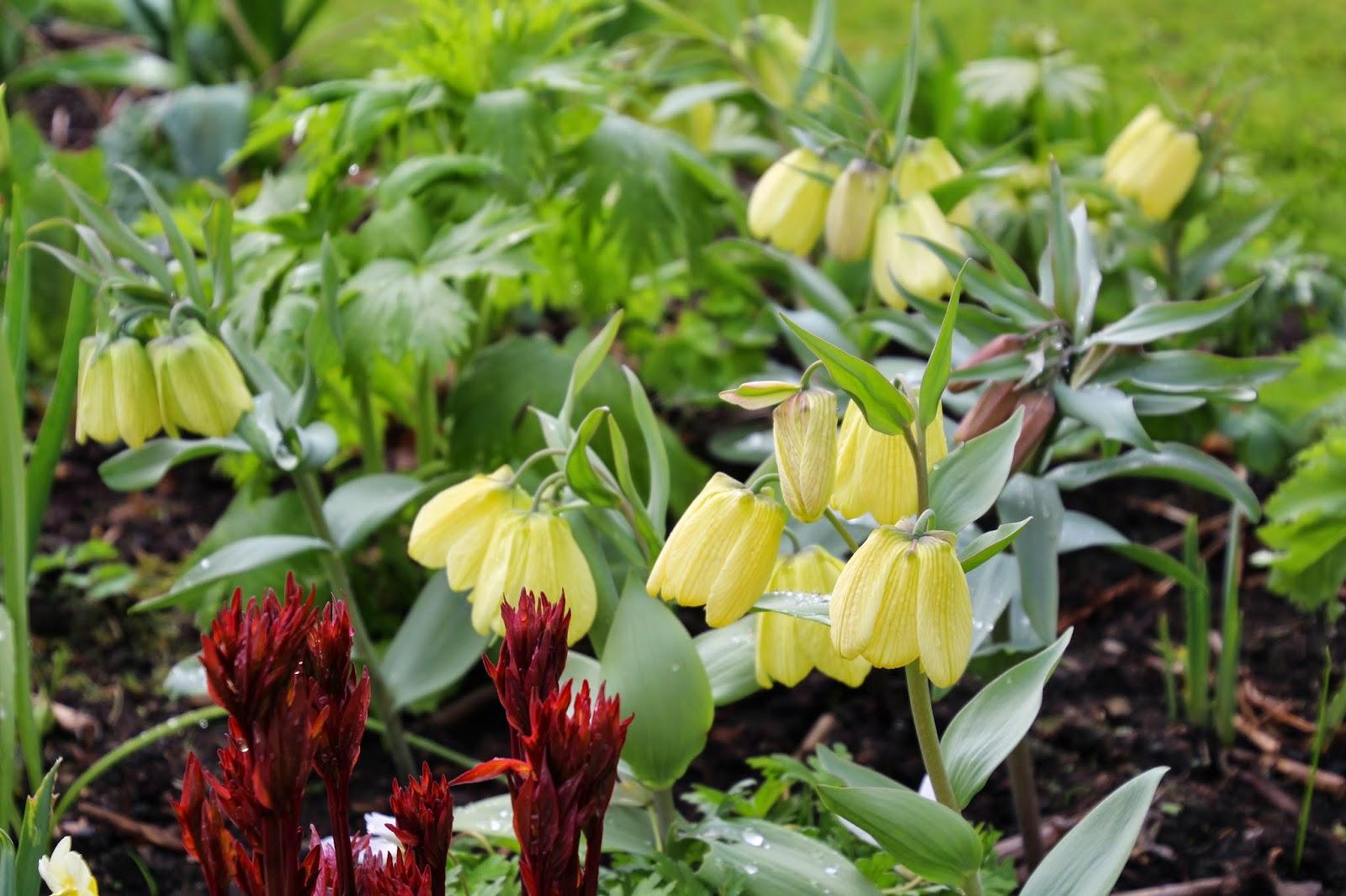 blek klocklilja fritillaria pallidiflora