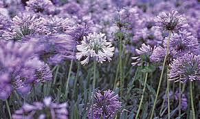 Agapanto - Plantas e Flores