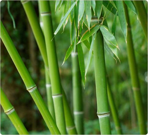 Bamboo Plant1