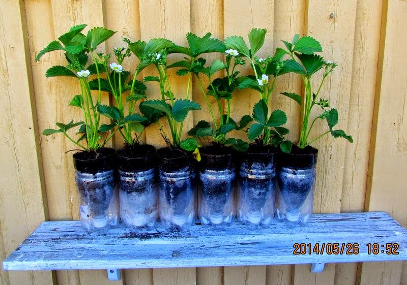 Plantera i petflaskor
