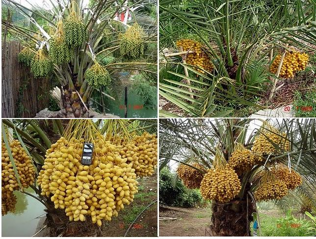 KURMA MALAYSIA
