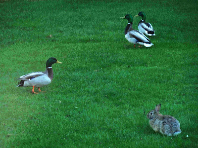 Backyard Ducks and Rabbit