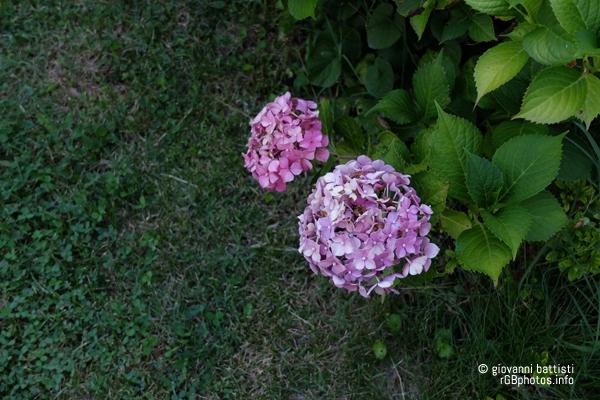 Fotografia di fiore di ortensia rosa