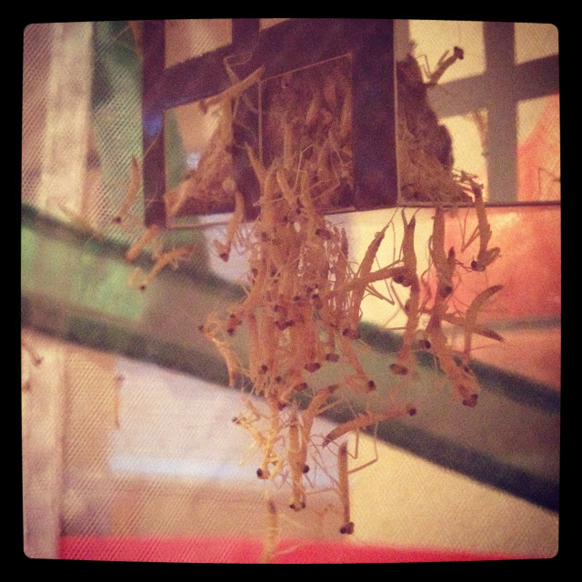 Praying Mantis Babies!