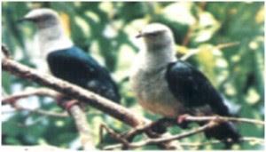 gambar burung pombo