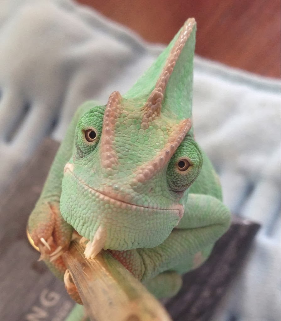 Funny animals of the week - 31 January 2014 (40 pics), beautiful chameleon close up picture