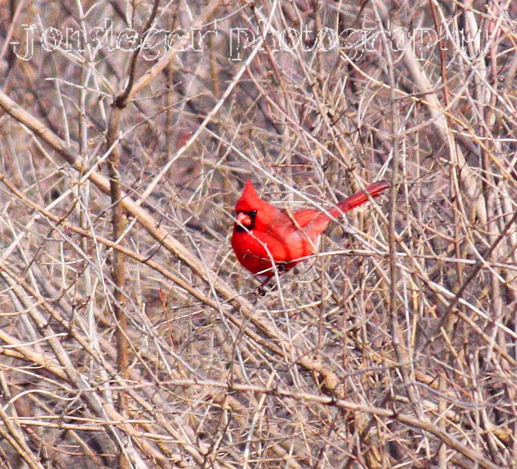 northern illinois birder northern cardinal illinois state bird