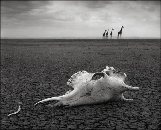 череп жирафа,Nick Brandt