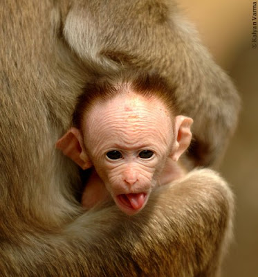 Funny Baby Monkey Image
