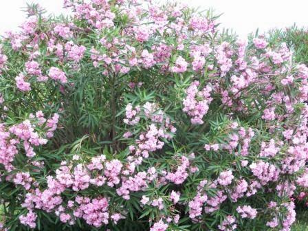 giftige Pflanzen-Oleander