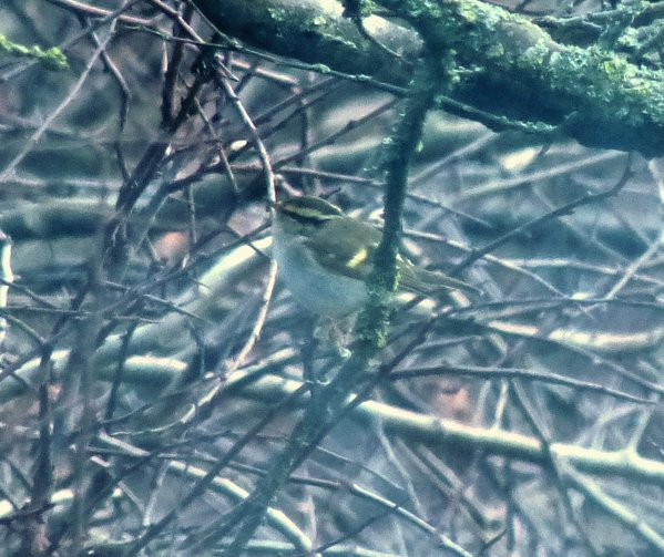 Pallas's Warbler-Heswall Sewage Works-4th March-2016