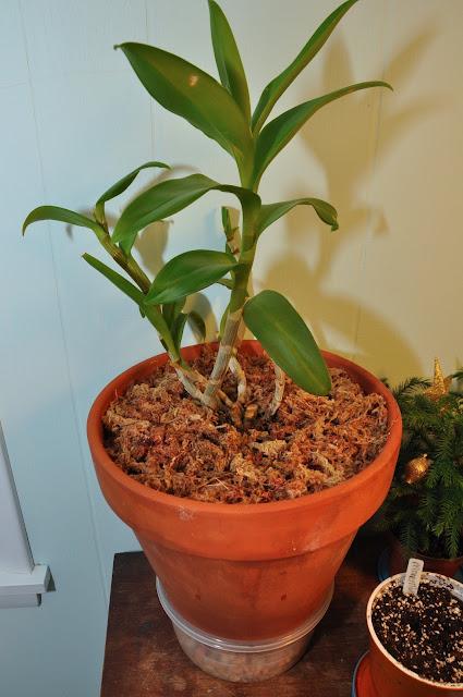 365 days of diy transplanting an orchid. Black Bedroom Furniture Sets. Home Design Ideas