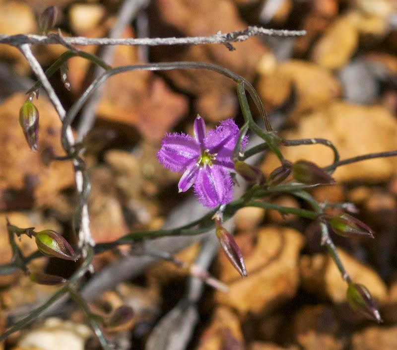 Fringe Lily (Thysanotus cf thyrsoideus)