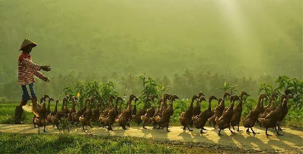 Barisan bebek mengikuti pola Barisan Aritmatika