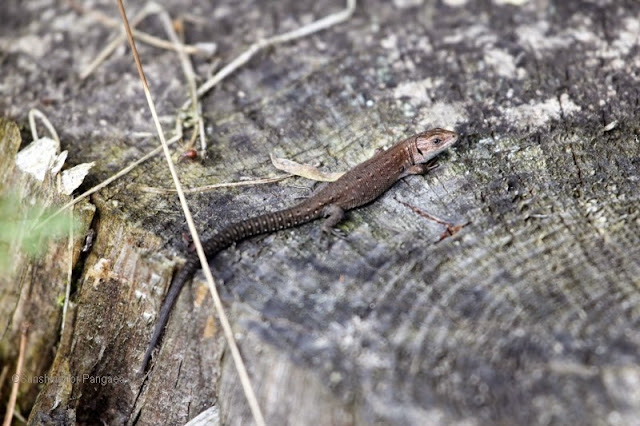 common lizard, Zootoca vivipara or Lacerta vivipara