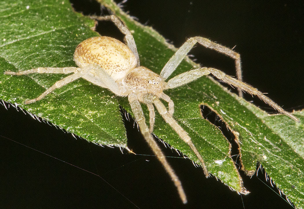 Spider, Philodromus species.  Petts Wood, 30 July 2014.
