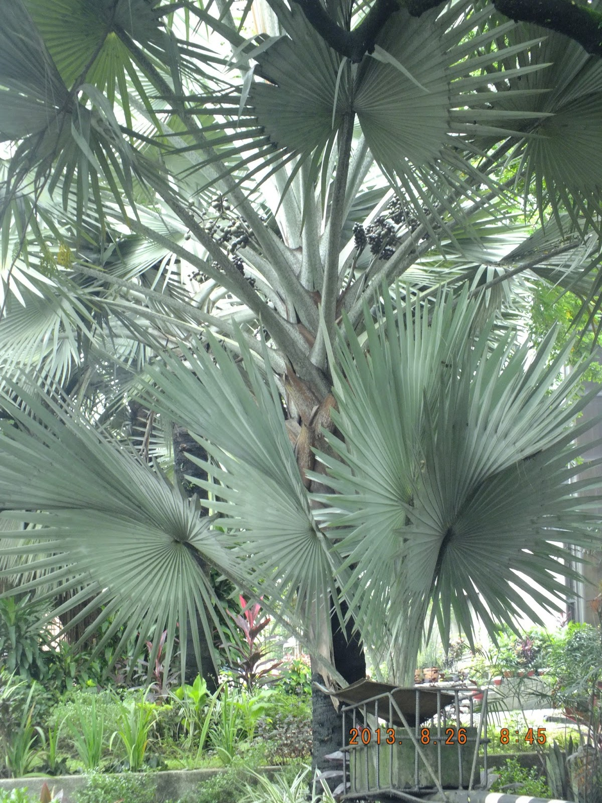 Photography with Dr. Ernie.: A palm tree with anahaw ...