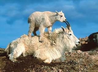 Mountain Goats band name inspiration - Mountain-goats-With-son