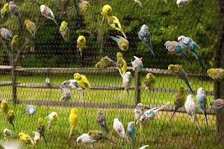 صور جميلة لطائر البادجي 2