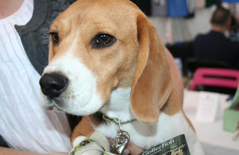 close up of a sweet little beagle face with tan and white markings and big brown eyes
