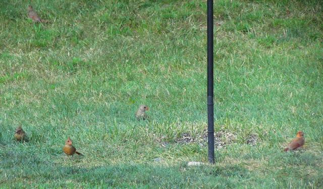 five cardinals under feeder