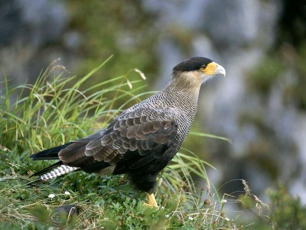 patagonia-wildlife-caracara