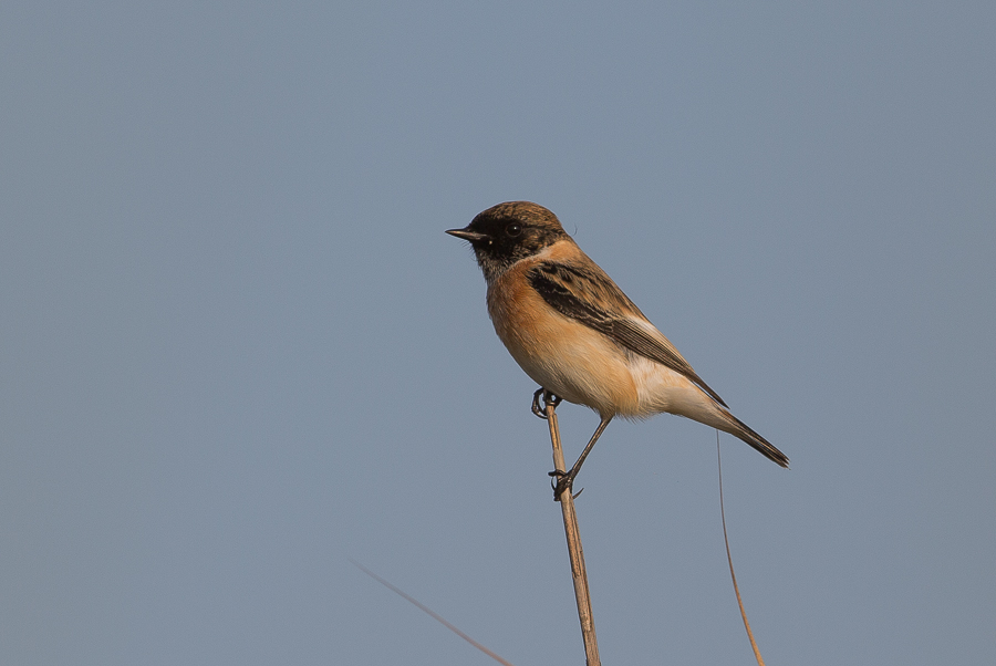 NCT Stonechat