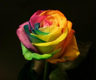 Beautiful  Multicolor Rose