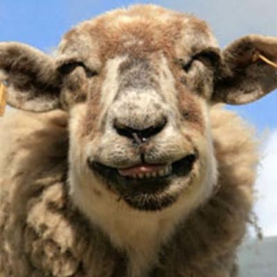 oveja+graciosa Imagenes chistosas de animales...