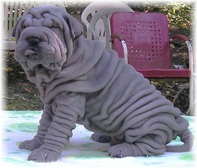 Funny Shar Pei Dogs 2012 | Funny Animals