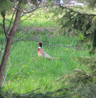 Detroit Urban Pheasant