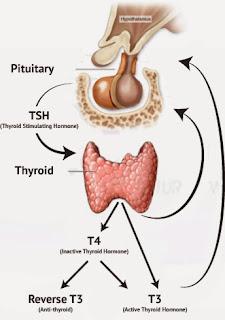Functions of Thyroid Hormone