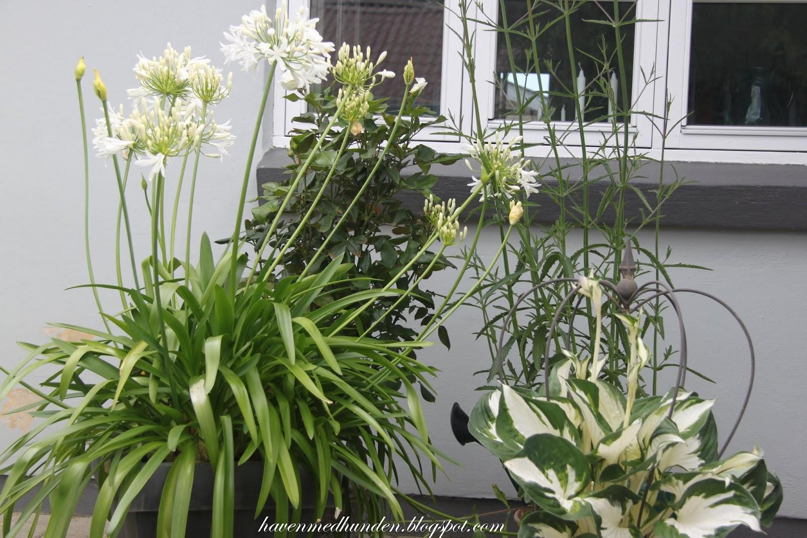 Haven med hunden: Krukker på terrassen