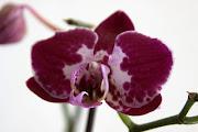 A mais antiga comemoração dos dias das mães é mitológica. (flor orquãdeas )