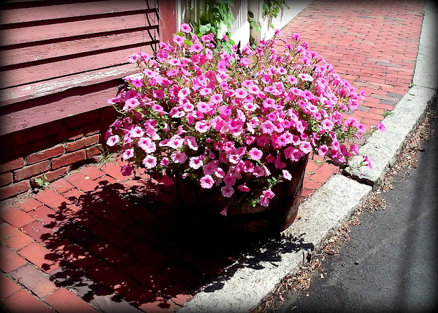 Petunias, Shadow, Salem, Massachusetts bucket, bricks, sidewalk