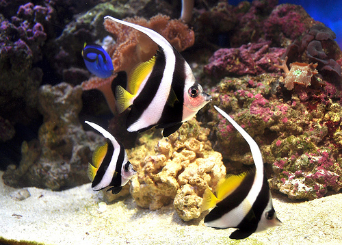 Life of schooling bannerfish life of sea for Fish tank fish types