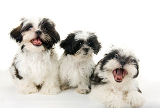Shih Tzu Puppies Pictures
