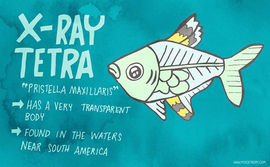 X-ray Tetra Drawings 354 X-ray Tetra