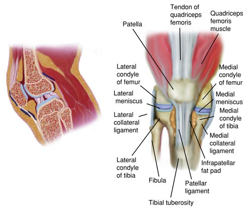 Knee Anatomy Name With Pictures All In One About Medical