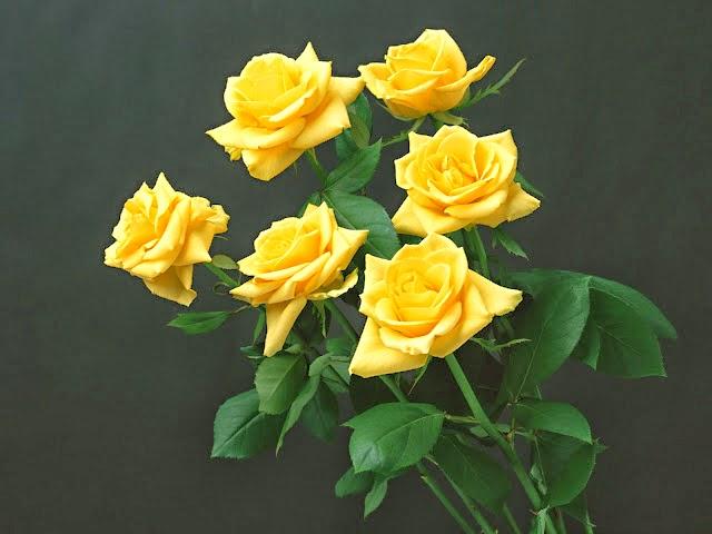 Descargar Imagenes De Rosas Amarillas}