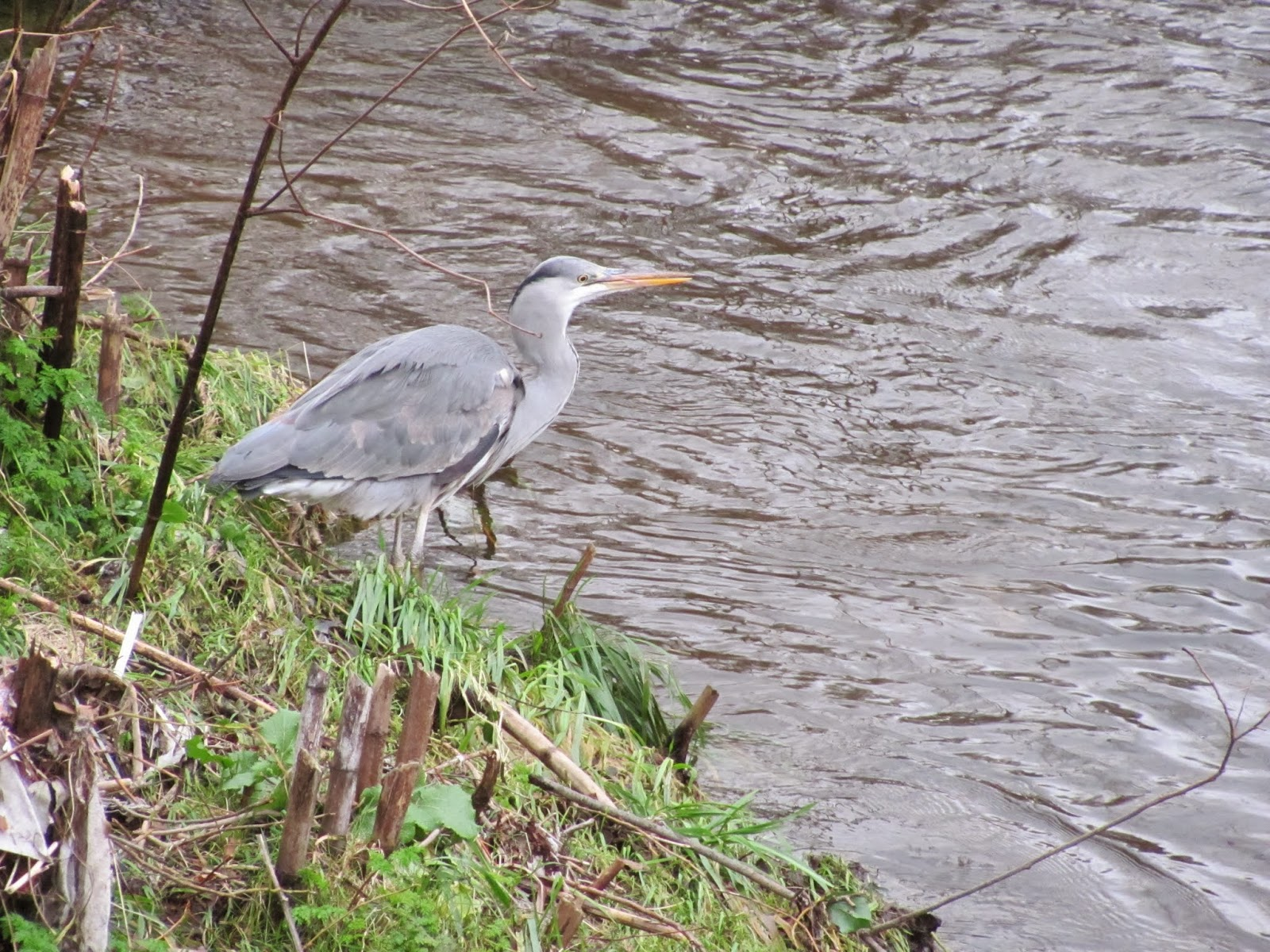 Heron on the Dodder in Dublin