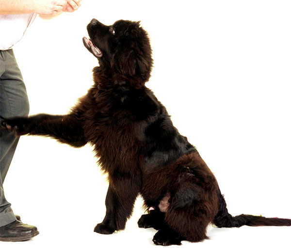 Ensinando o cachorro a dar a pata