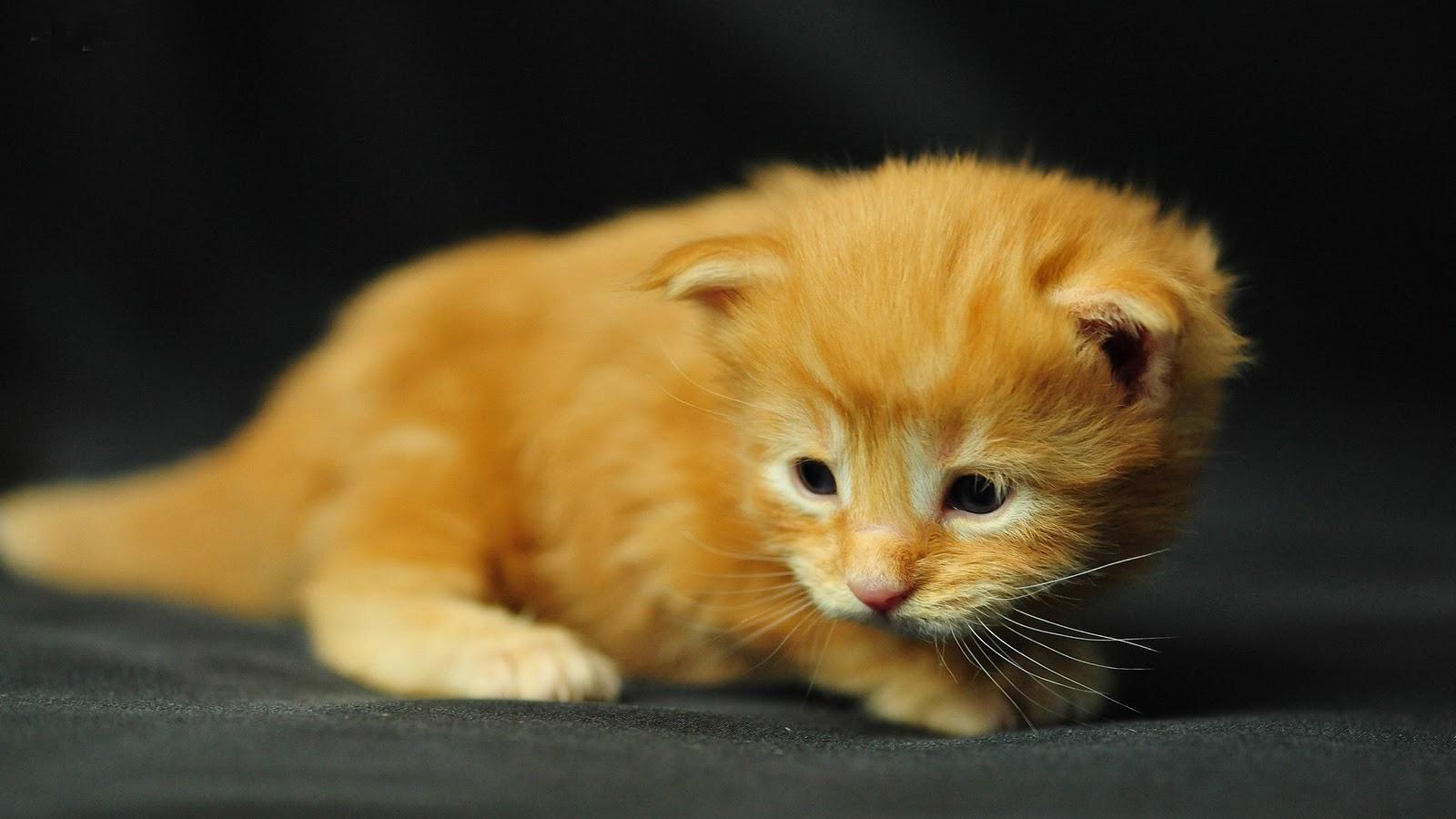 rode kitten poes