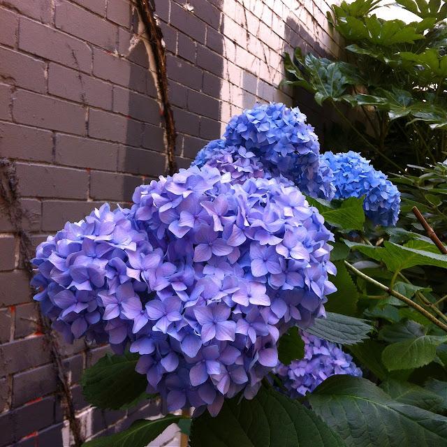 Hydrangea In Two Colors, hydrangea, blue hydrangea, purple hydrangea, summer flower, hydrangea
