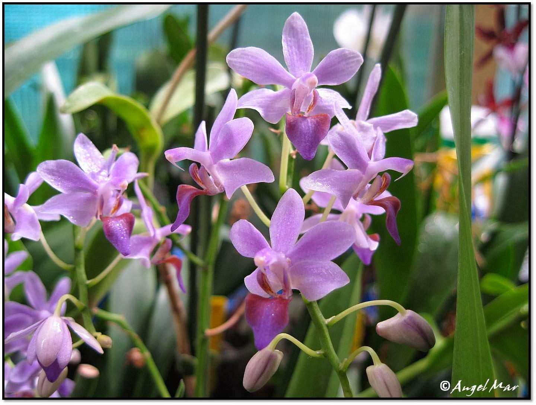 Orqu deas blog de angel mar phalaenopsis mini muchas for Cuidado de las orquideas moradas
