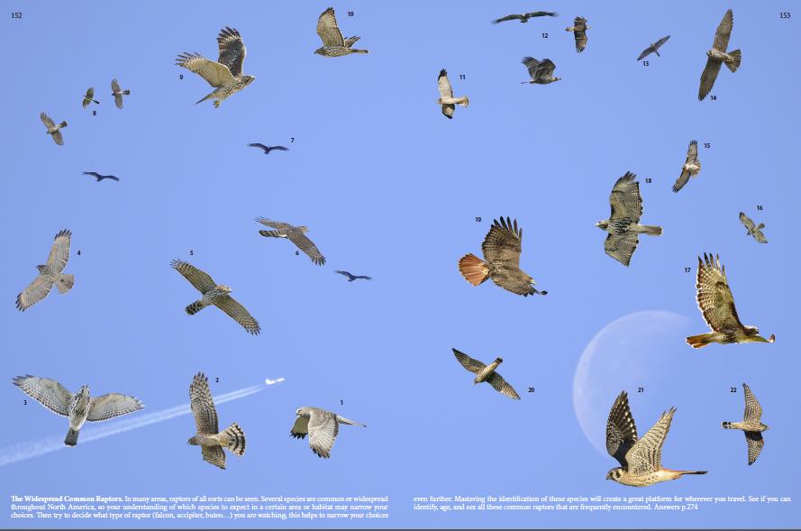 birds of prey identification guide