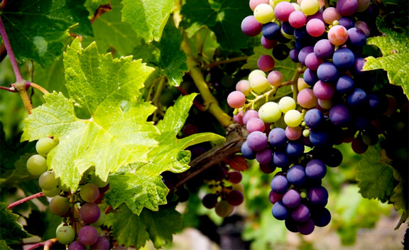 Veraison -  Grapes are ripening !!