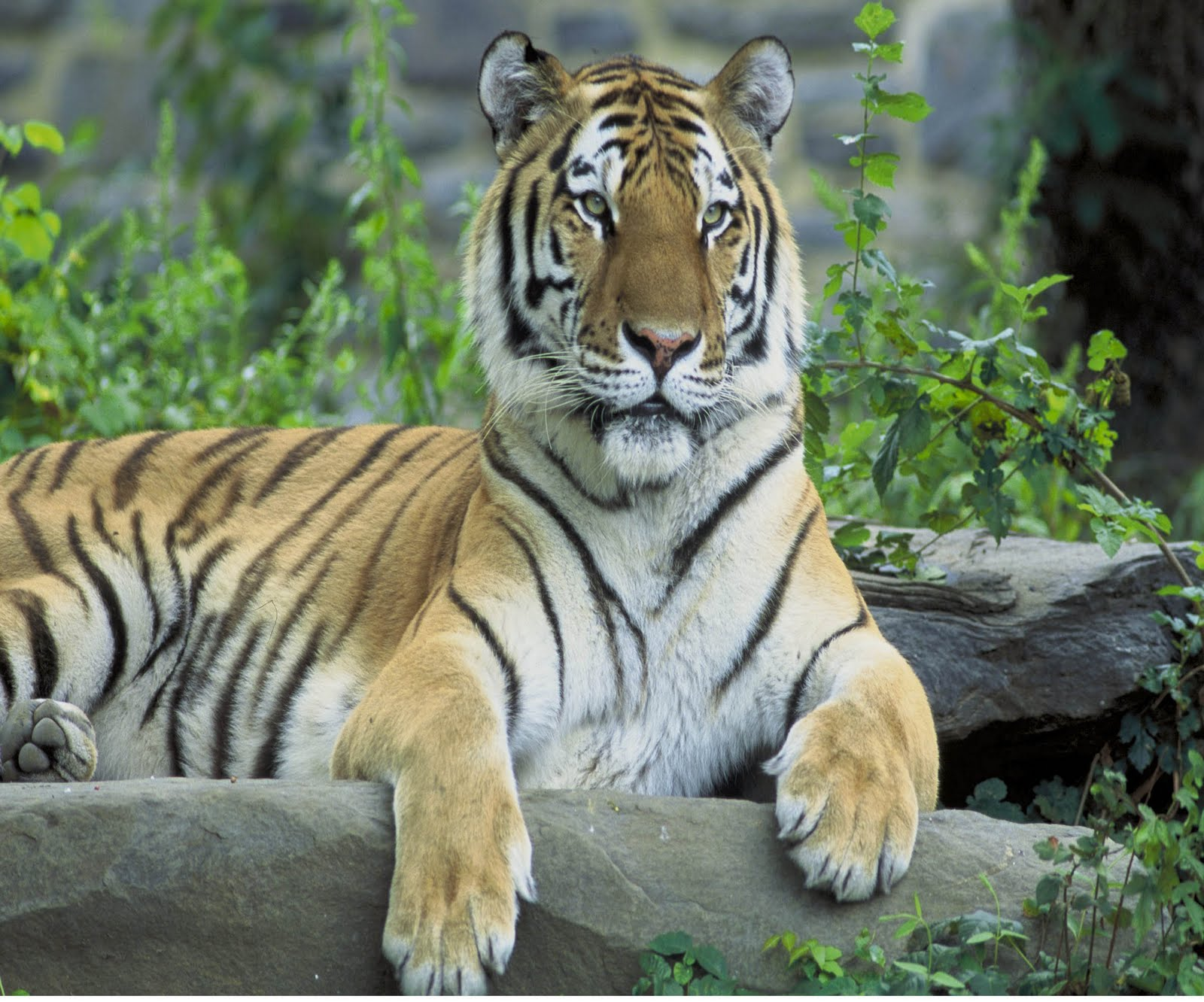Y Tiger Is Our National Animal Presenting India   Pre...