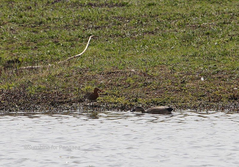 Black-tailed Godwits and a dug