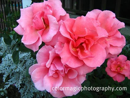 Pink summer roses-garden roses